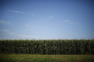 Scientists warn EPA on Monsanto corn rootworm