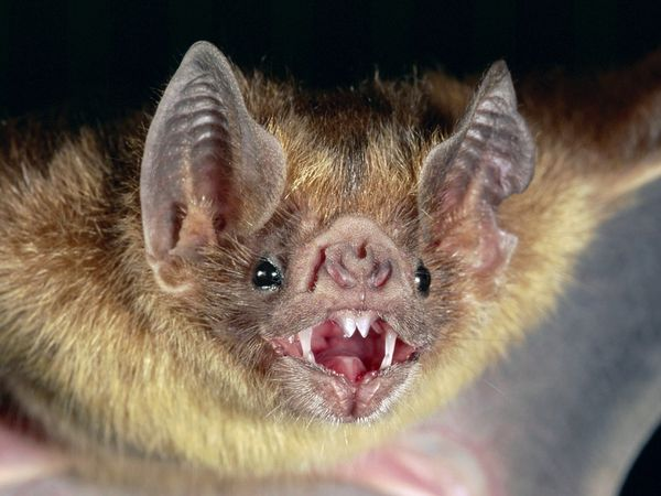 Long-lived bats offer clues on diseases, aging