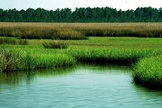 Salt Marshes are great Carbon Sinks