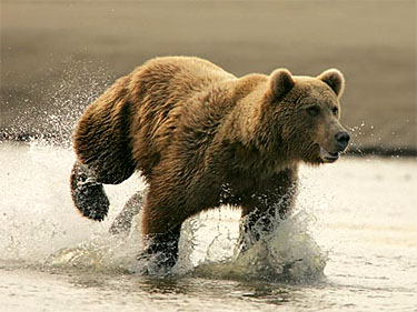 Genetic Study of Brown Bear Population Reveals Remarkable Similarities to Polar Bears
