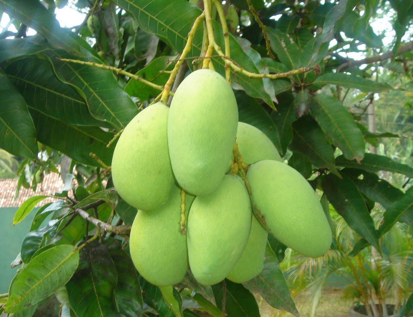 Haribhanga mango expected in Rangpur