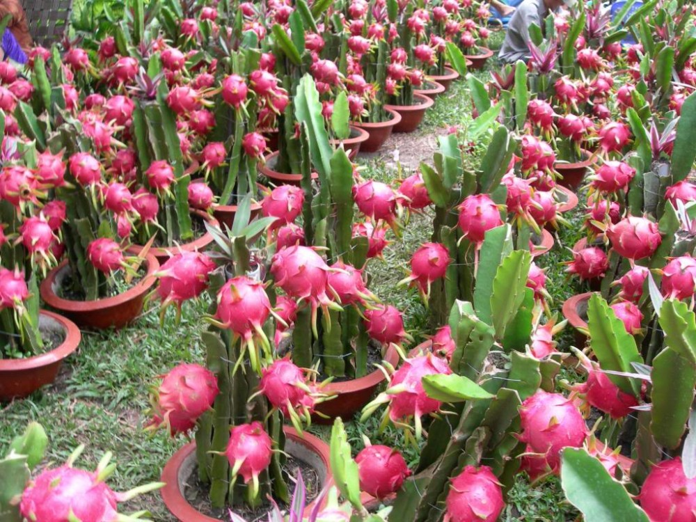 Dragon fruit farming prospect bright in Rajshahi
